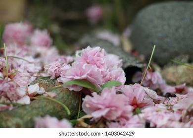 Close up of the fallen pink cherry blossom petals, Japan, soft focus
