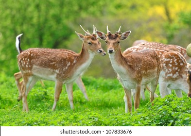 Close up of a Fallow Deer buck (Dama dama) in forest