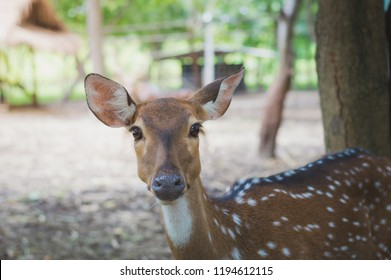 close up of a Fallow Deer buck (Dama dama) in forest. fallow deer ( Dama ) hind looking at camera while grazing on a glade