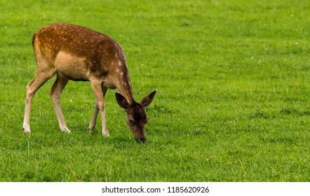 Close up of a fallow deer calf (cervus dama / dama dama) grazing