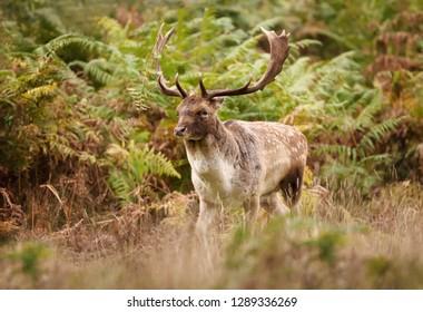 Close up of a Fallow deer (Dama dama) in autumn, UK