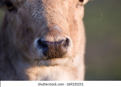 Close up of fallow deer nose on sunlight from side