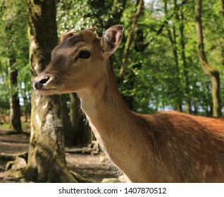 Close up of a Fallow Deer scientific name dama dama. The deer is sun dappled which is matched by the dappled white pattern on its fur camouflaging the animal in woodland. This is a young buck.
