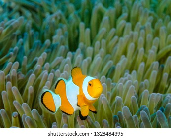 Close up of a false percula clownfish or occellaris clownfish in a magnificent anemone.