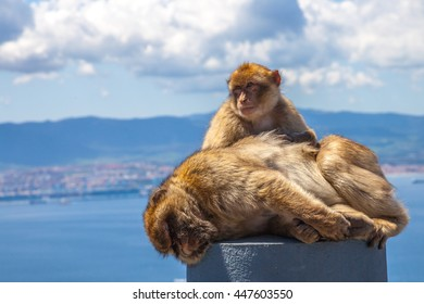 Close up of the famous wild macaques that are relaxing in Gibraltar Rock. The Gibraltar monkeys are one of the most famous attractions of the British overseas territory.