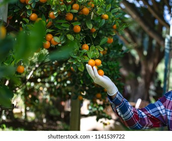 close up of farmer hand with grove show his organic orange tree field farm,Concept ecology, technology farmers, clean air, food, biology product