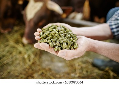 Close up of farmer's hand holding green compound cattle feed in palms over farm background