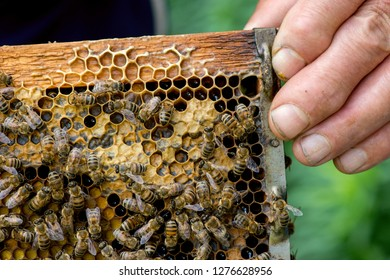 close up of a farmer's hand holding a honeycomb with bees on it - selective focus, copy space