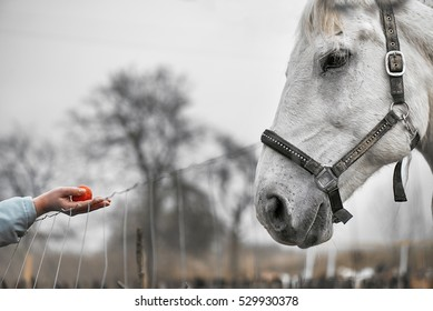 Close up of feeding a white horse with hands; feeding with red apple