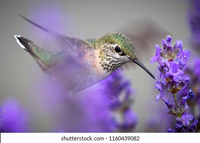A close up of a female calliope hummingbird, selasphorus calliope, moving in to drink  the nectar from a lavendar flower.