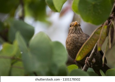 Close up of a female common european blackbird, Turdus merula, watching the sorroundings of her nest in an spring aftoernoon. This bird can be easily seen around parks and gardens.