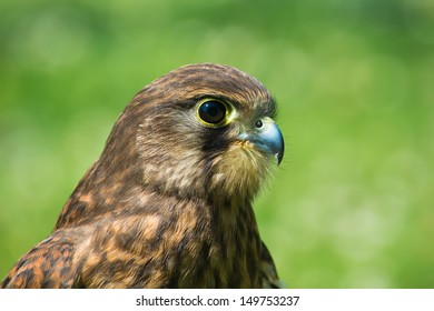 A close up of a female common Kestrel