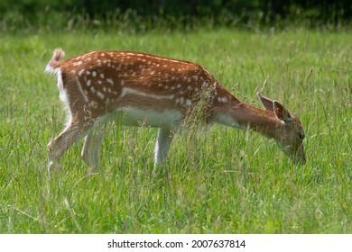 close up of a female fallow deer (dama dama) grazing in a meadow - Shutterstock ID 2007637814