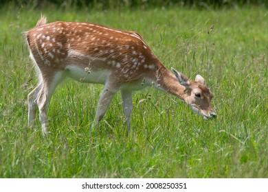 close up of a female fallow deer (dama dama) grazing in a meadow - Shutterstock ID 2008250351