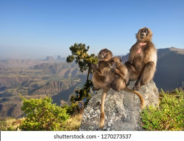 Close up of a female Gelada monkey with babies sitting on a rock in Simien mountains, Ethiopia.