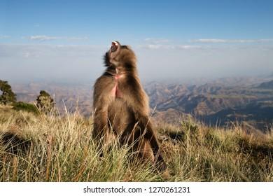 Close up of a female Gelada monkey known as bleeding heart monkey calling, Simien mountains, Ethiopia.