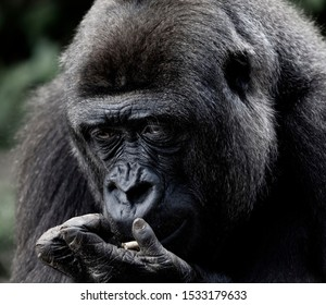 Close up of female Gorilla in captivity