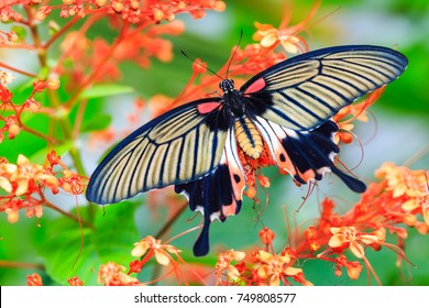 Close up of female Great Mormon (Papilio memnon) butterfly on flower in nature, dorsal view
