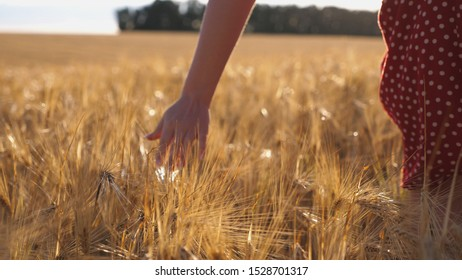 Close up of female hand moving over ripe wheat growing on the meadow. Young girl walking through the barley field and stroking golden ears of crop. Sunlight at background. Rear view Slow motion