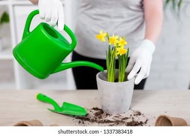 close up of female hands watering spring flowers in pot at home