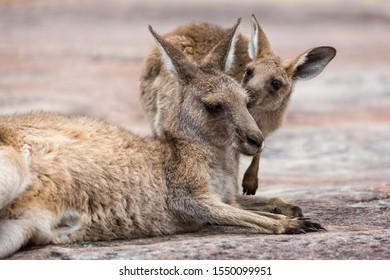 Close up of female Kangaroo with Joey - baby Kangaroo
