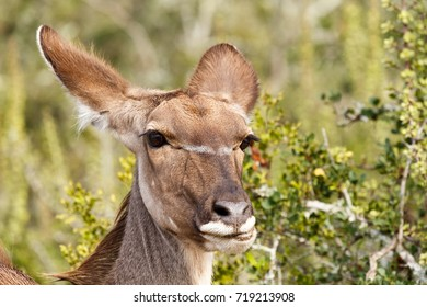 Close up of an female kudu standing in the field.