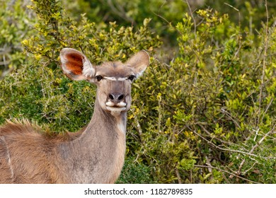 Close up of a female Kudu standing and staring at you