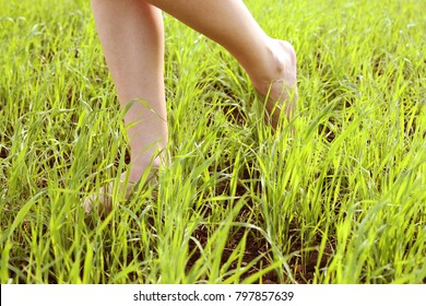 close up of female legs walking on green grass field . barefoot foot. woman's crossed legs walking on agriculture wheat field. Light step barefoot on the soft summer grass. springtime season