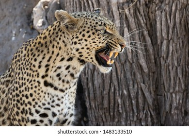 close up of a female leopard snarling, profile, blurred treebark in the background