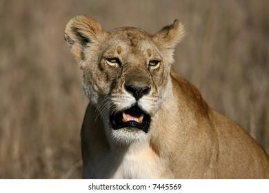 Close Up of a Female Lion