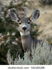 Close up of female mule deer standing behind sage brush / Mule Deer Close Up / Close up of a female Mule Deer