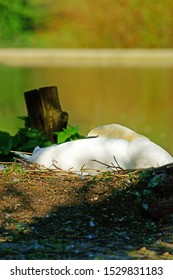 Close up of Female Mute swan, Cygnus olor, in beautiful pose sleeping on its nest with diffused background, Stroud, The Cotswolds, Gloucestershire, United Kingdom