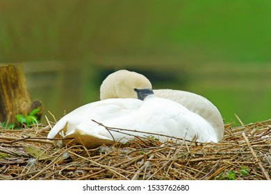 Close up of Female Mute swan, Cygnus olor, in beautiful pose sleeping on its nest with diffused background in Stratford Park, Stroud, The Cotswolds, Gloucestershire, United Kingdom