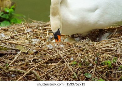 Close up of Female Mute swan, Cygnus olor, turning its eggs in Stratford Park, Stroud, The Cotswolds, Gloucestershire, United Kingdom
