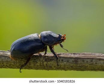 Close up female Rhinoceros Beetle