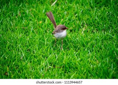 Close Up Of A Female Superb Fairywren Bird In Grass