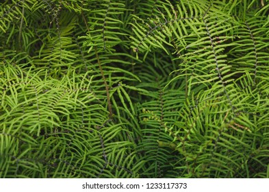 Close up of fern leaves in the rainforest. Beautiful foliage made with young green fern leaves.
