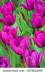 Close up of a field of beautiful purple tulips