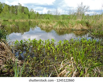 Close up of a field colony of Calla (bog arum, marsh calla, wild calla, and water-arum) on a marsh. Poland, Europe