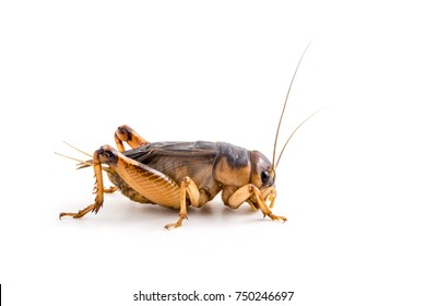 Close up Field Cricket (Gryllidae) on a white background