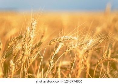 Close up of field with ripe wheat ears against blue sky. soft focus