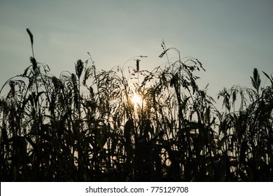Close up field of Sorghum or Millet an important cereal crop with sunset