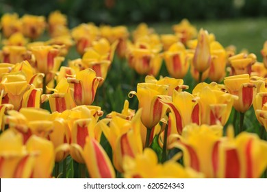 Close up of a field with yellow tulips with red highlights