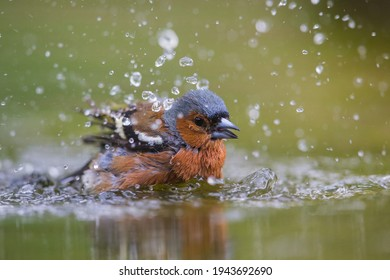 Close up of finch Fringilla coelebs washing and actively moving wings and water drops around and with waves on the water and diffused reflection of the colourful song bird in with background