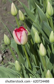 Close up of the first tulip to bloom in the spring