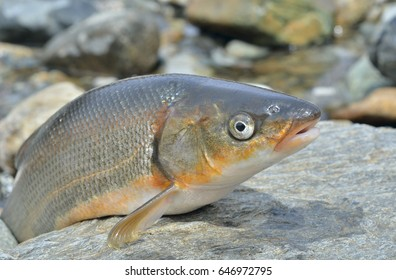 A close up of the fish (Leuciscus brandti). Isolated on black.