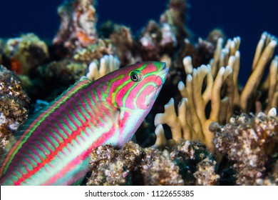 Close up of a Fivestripe wrasse (Thalassoma quinquevittatum) sitting on the reef, very colorful body with pink and green pattern.