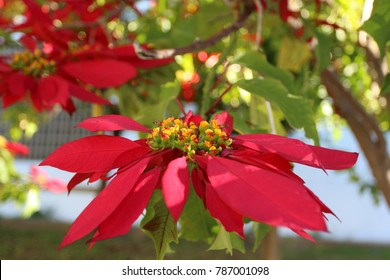 Close up flaming red bracts of a tropical Euphorbia pulcherrima poinsettia tree.