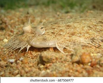 Close up of a flat fish