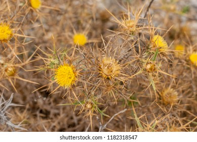 Close up of flat-topped carline thistle plant carlina corymmbosa ssp. curetum